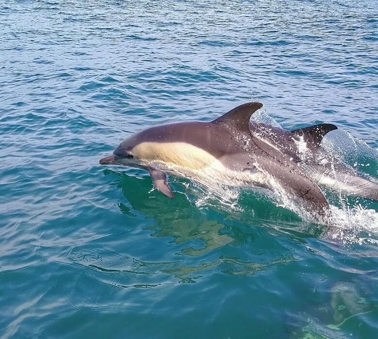 safari_delfini