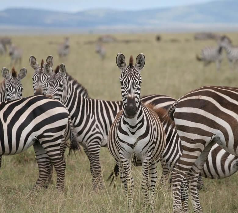 safari_impala_2