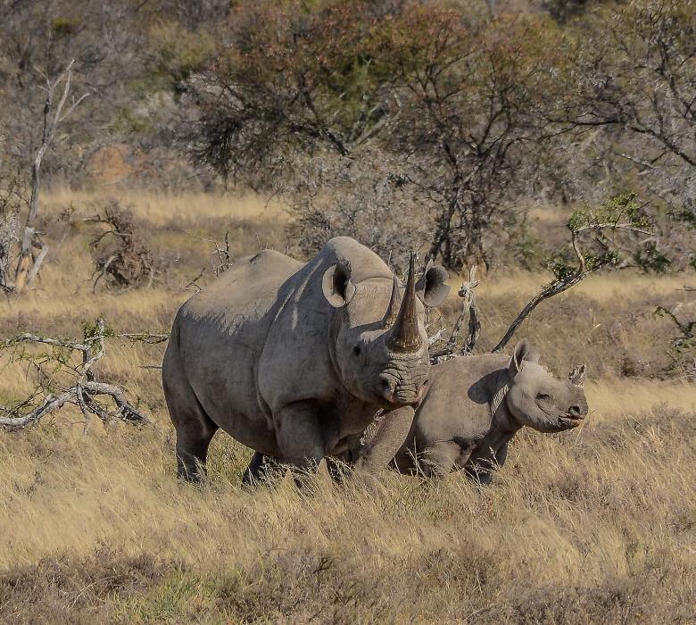 safari_stenbok_2