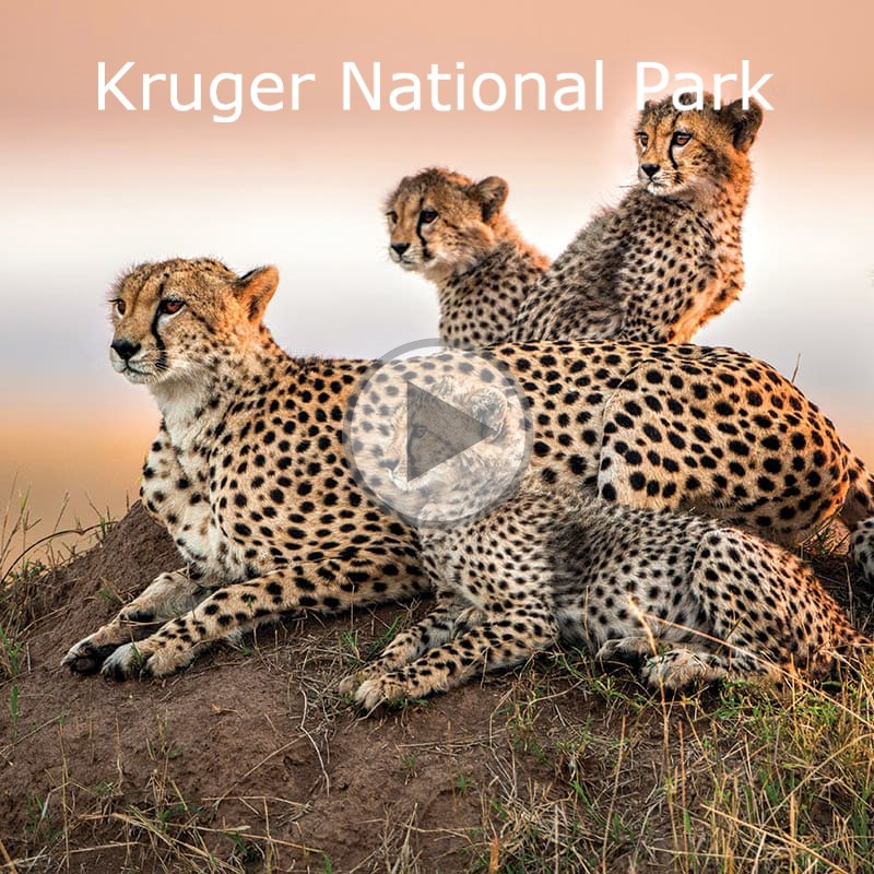 cheetah-family-on-hill