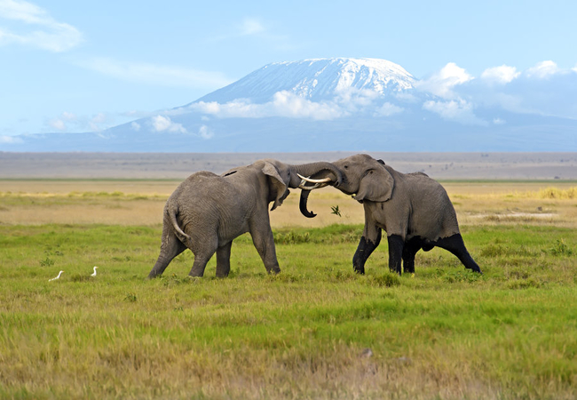 two-male-elephants-fighting-in