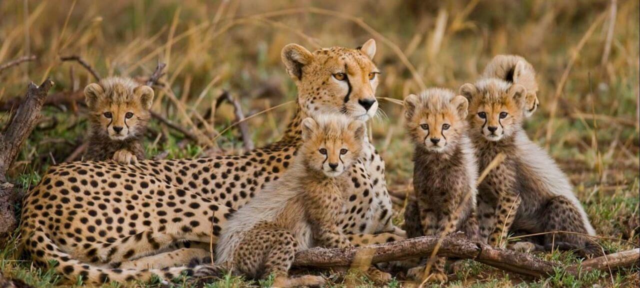 cheetah_tsavo_esast (1) (1)