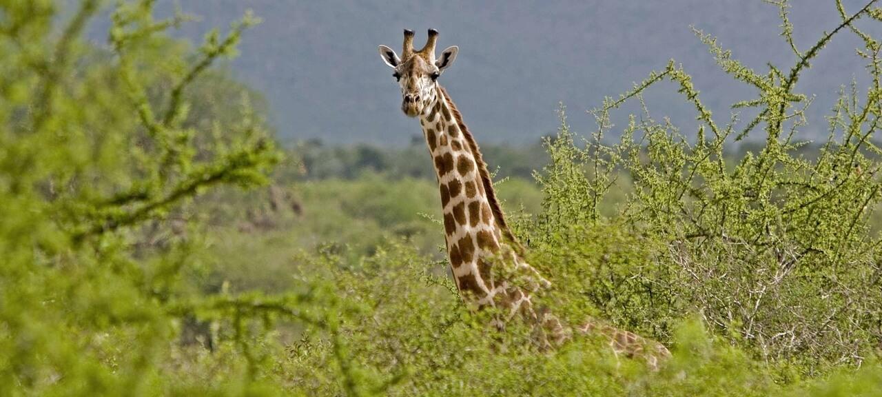 giraffe_bull_tsavo_east__1920x (1)