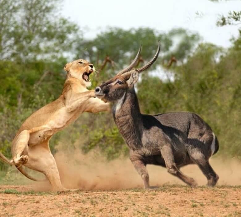lions-in-masai (1)