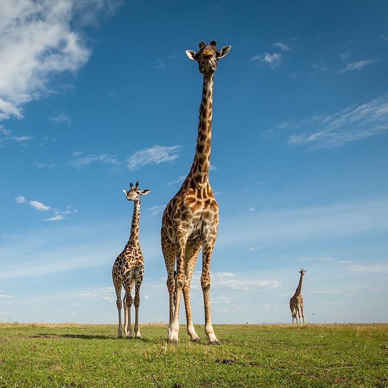 Isak_photographic_giraffe_mala_mala_800_800